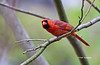 CARDINALS : This is where you will find all my Northern Cardinal photos