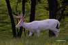 WHITETAIL DEER :