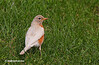 LEUCISTIC ROBIN : This gallery is dedicated to a rare leucistic Robin