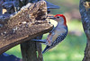 RED BELLIED WOODPECKERS : As you can see by the number of photos of this woodpecker, this is one of my favorite birds to photograph.