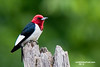RED HEADED WOODPECKER : The male and female Red Headed Woodpecker are identical, there is no way to tell them apart that I am aware of.